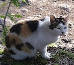Japanese_Bobtail_Cat,_Japan.jpg