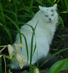 White_Maine_Coon.jpg